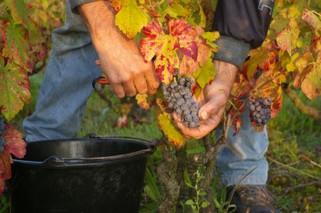 Plukking av modne druer.jpg