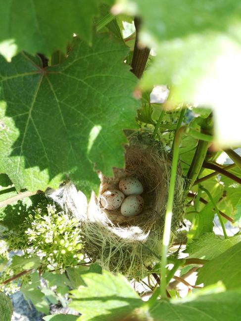 Fuglerede i vinbusk.jpg