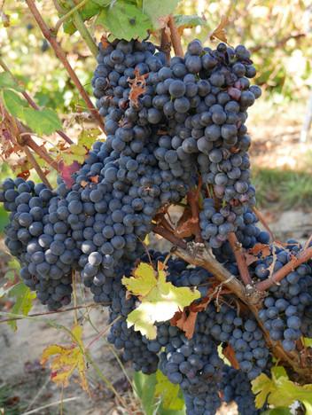 Pinot Noir hos Lemaire