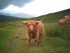800px-Highland_cow_on_West_Highland_Way.