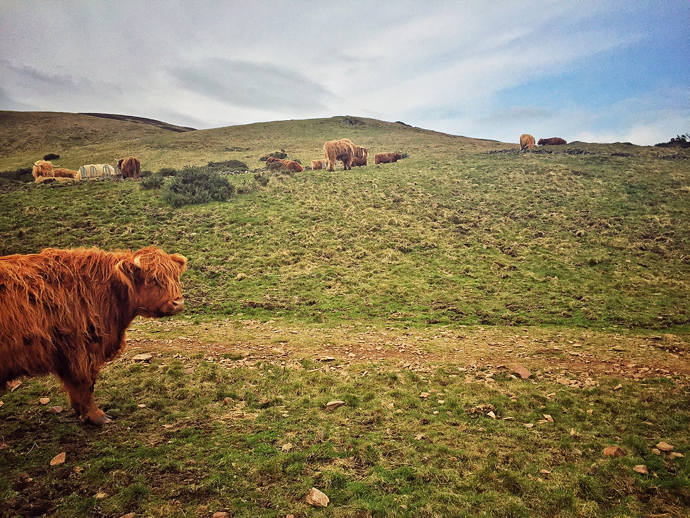 Highland coo in the Pentland Hills of Scotland