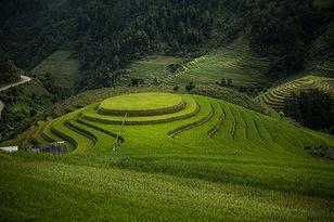 שדות האורז מוריקים