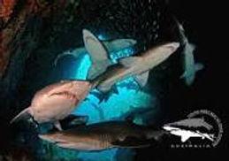 SWR Sharks.jpg