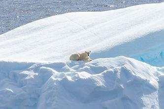 Polar Bear 3 Baak.jpg