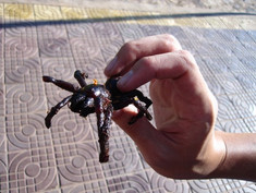 Fried tarantula in Cambodia