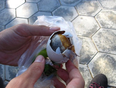 "Undeveloped duck egg ""Balut""in Cambodia"