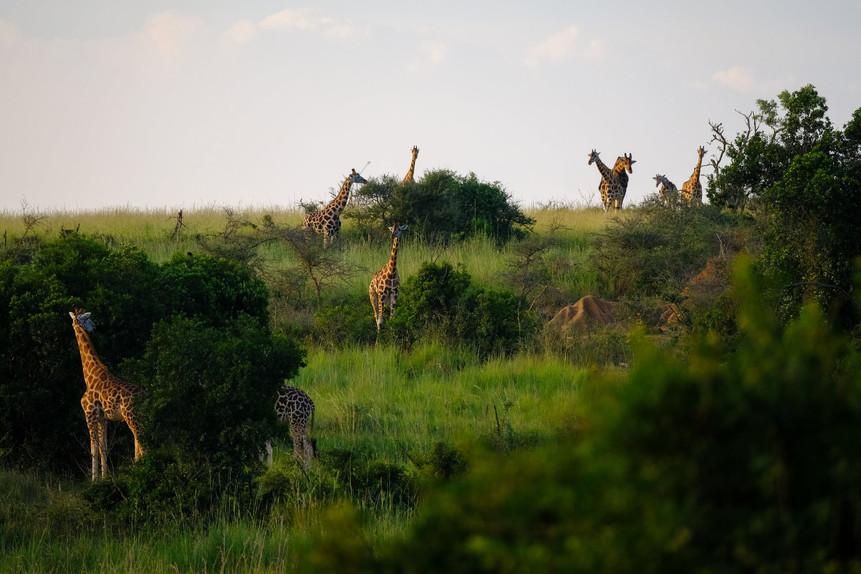 giraffes in the wild in the African bush