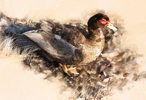 Sunlit duck