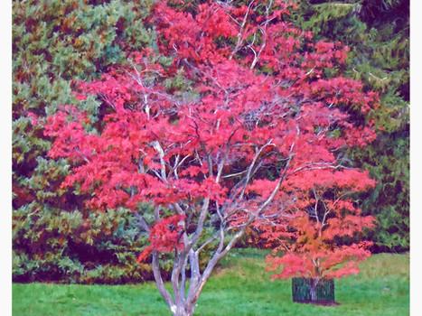 Japanese maple tree. 2020