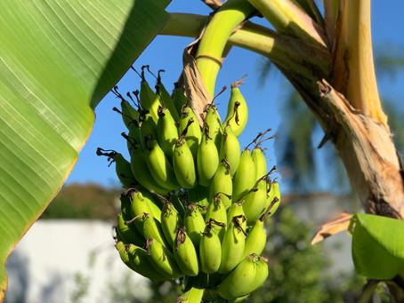 Banana, a fruta perfeita!