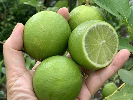 Limão: a fruta mais versátil