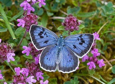 Large blue butterfly.