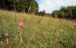 Pyramidal Orchids