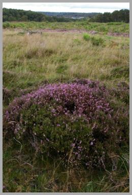 rugeley heather