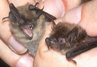 Whiskered & Brandt's bats