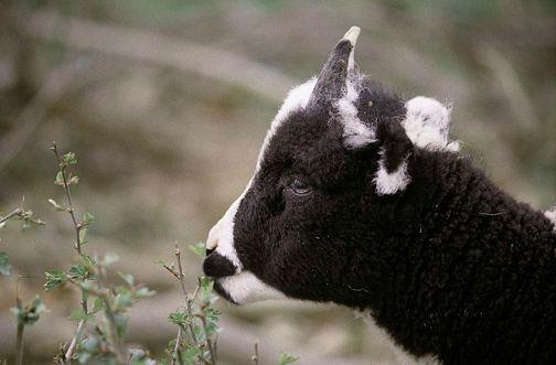 Jacob lamb nibbling Hawthorn72