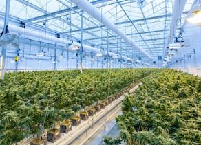 Medicinal Cannabis in Ecuador: Investment Opportunity in CBD.