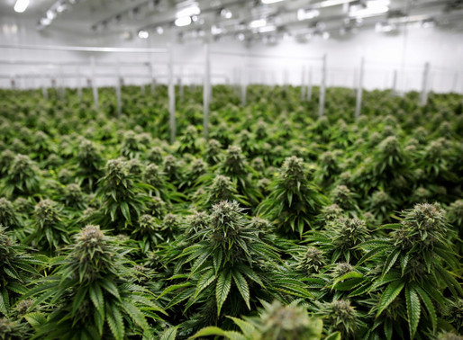 Investments in Uruguay: The Medicinal Cannabis Industry and CBD.