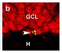 Cocaine & Neurogenesis