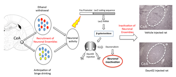 Reversal of alcohol dependence by pharmacogenetic manipulation of a neuronal ensemble.