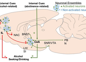 Cortical and Amygdalar Neuronal Ensembles in Alcohol Seeking, Drinking and Withdrawal