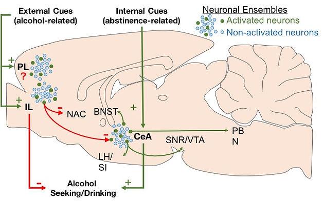 Cortical and Amygdalar Neuronal Ensembles in Alcohol Seeking