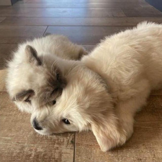 Rusty 3,5 mois et sa copine Golden