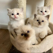 Chatons 5 semaines