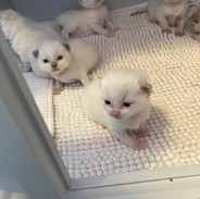 Chatons 2 semaines