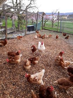 Hühner2