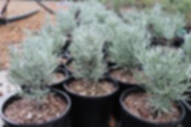 Wholesale Plants, Best Plants Wholesale Plant Nursery