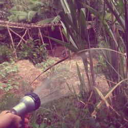 watering sugarcane (2)