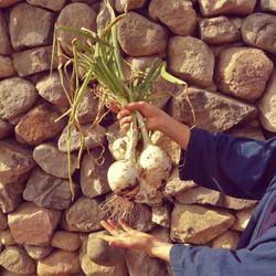 onion jan