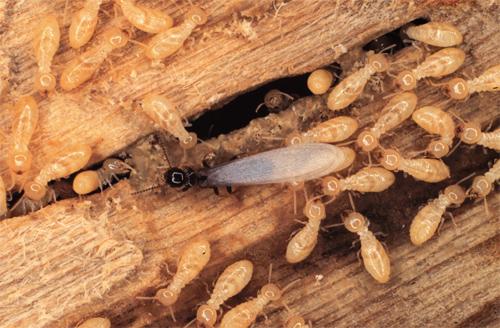 Termite Swarmer & Workers