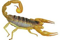 Brown Bark Scorpion
