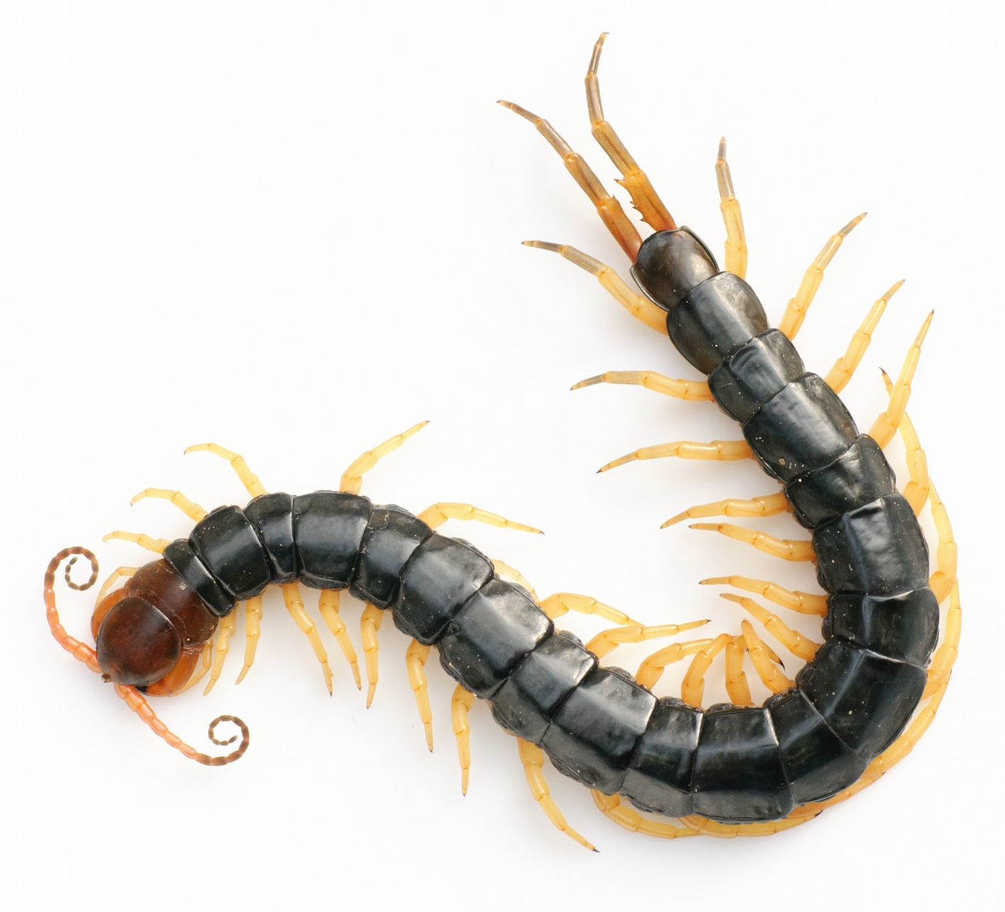 Texas Giant Centipede