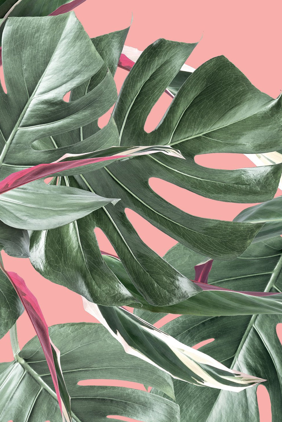 Botanical_Wallpaper_Monstera_Pink_by_KEK