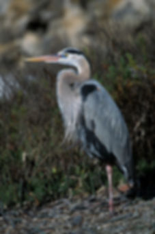 GBH In Mating Lores.jpg