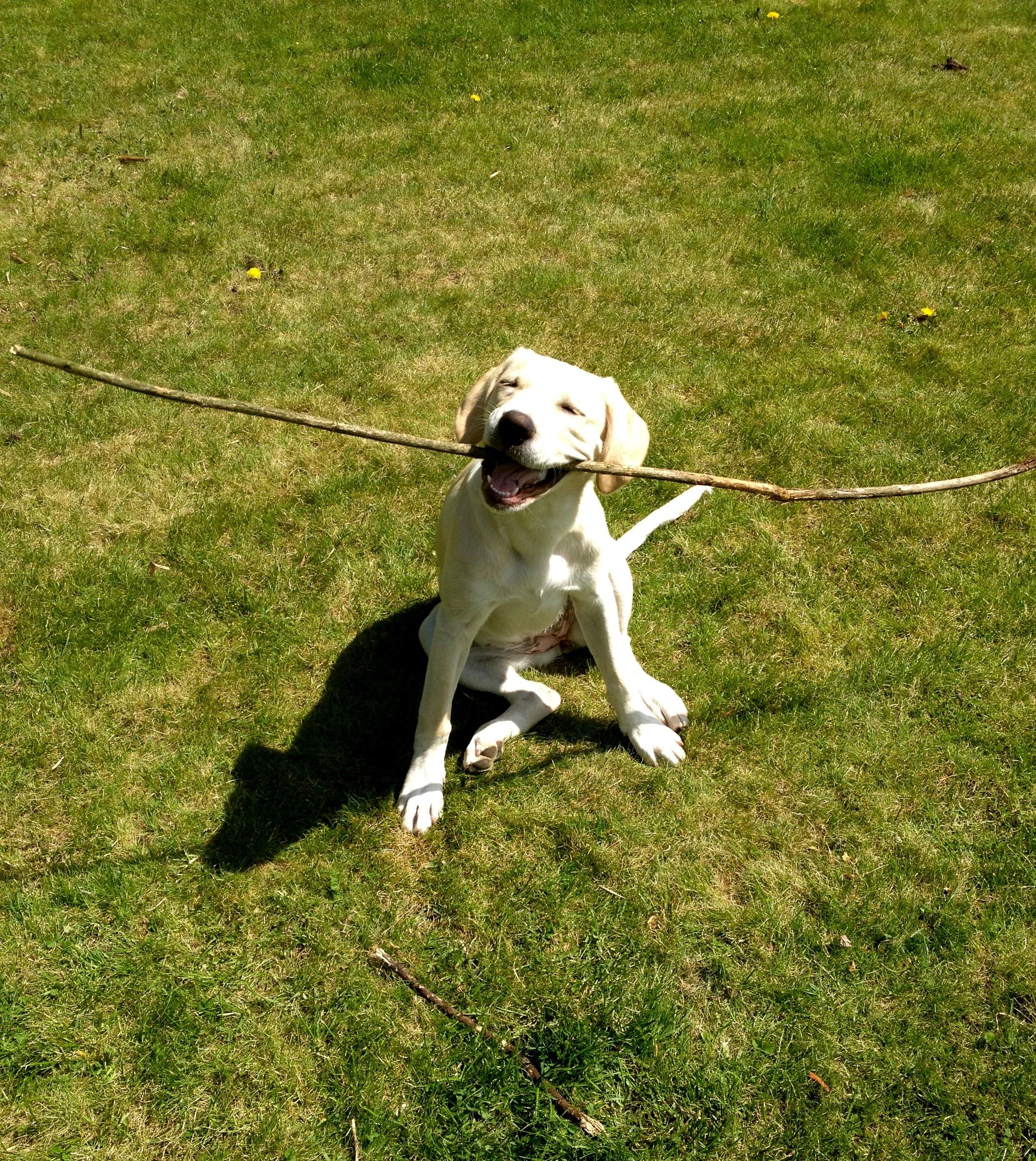 Clover | Labrador Dog | Evolve Natur
