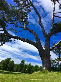 10th green tree