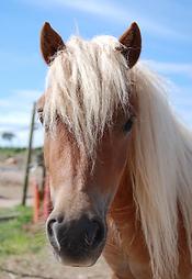 Le pony express du cotentin, poney club Fermanville
