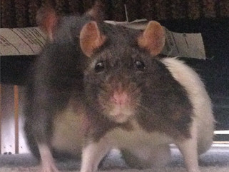 Why should you have your pet rat spayed and how much does a spay for a pet rat cost?