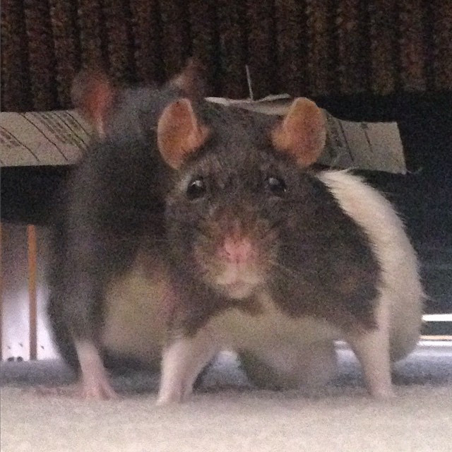 You can see Rattie Surf's mammary tumor on the right side of her belly.