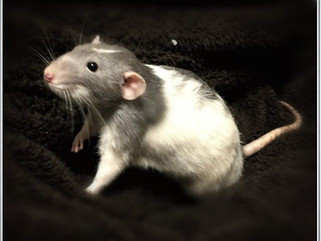 Nine Steps to Find Your Lost Pet Rat