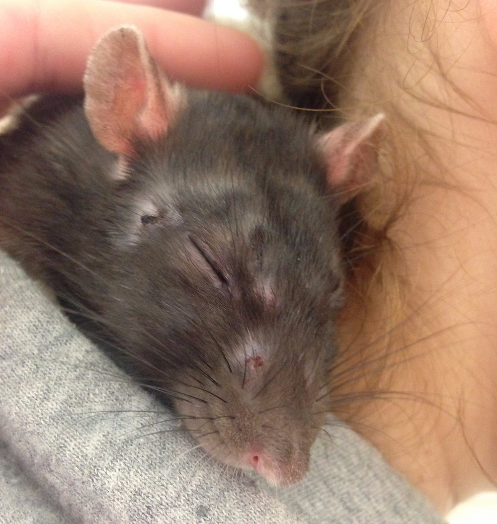 Rattie Surf waits patiently for the veterinarian to return with her lab results so she can feel better.