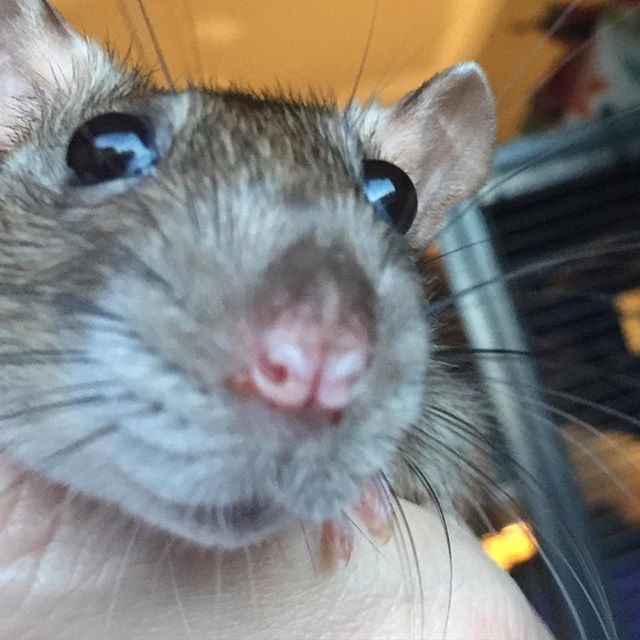 Pet Rat Nonnie has tiny moisture droplets around her nose indicating she is sick.