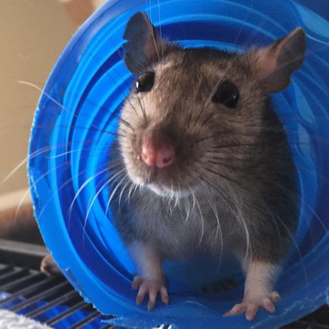 My pet rat, Nonnie