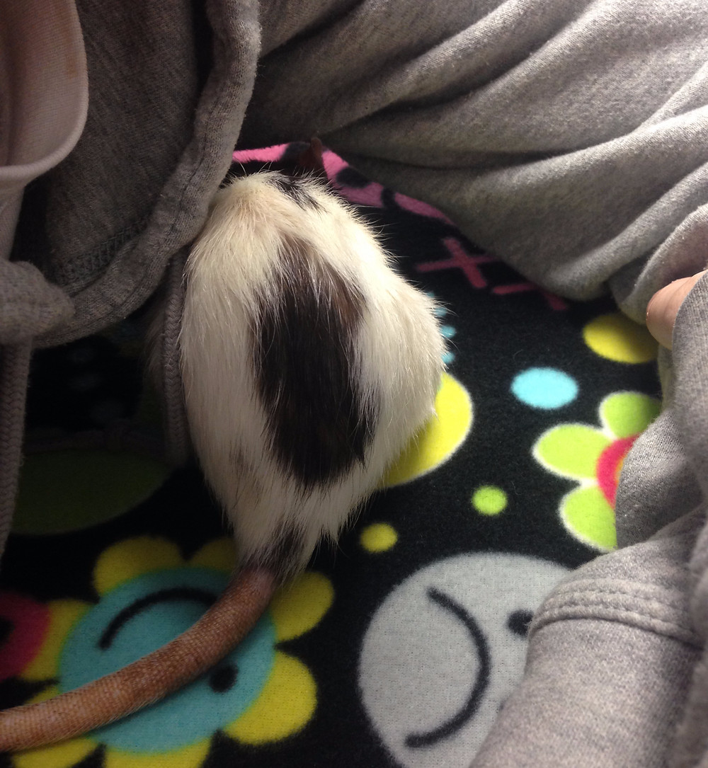 Rattie Surf waiting to be seen at the veterinarian for her mammary tumor.