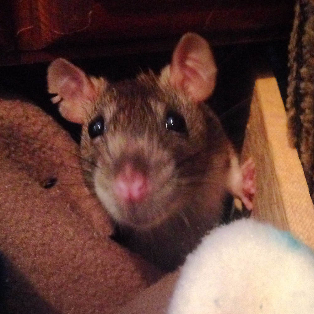 Rattie Nonnie peeks out of the box to see what is up