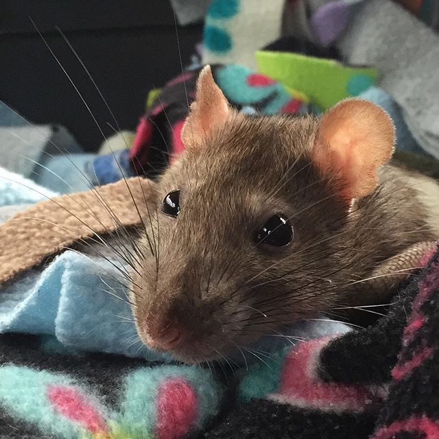 My pet rat Nonnie after her exhausting trip to the vet